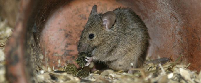 House mouse - Wildstock - Wildstock